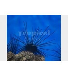 Diadema setosum - Long Spine Urchin