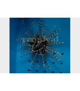Echinothrix calamaris - Longspine Urchin - Banded