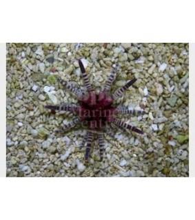 Eucidaris metularia - Mine Urchin - Red Banded