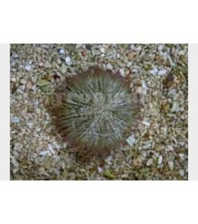 Lytechinus variegatus - Pincushion Urchin