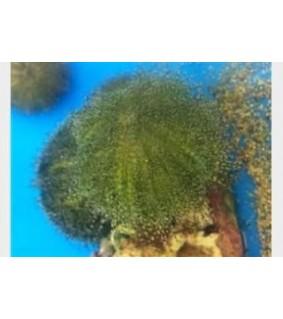 Heliocidaris erythrogramma - Red Urchin