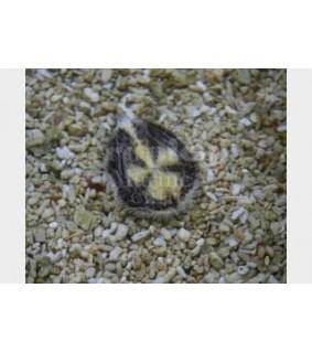 Maretia planulata - Sea Mouse Urchin
