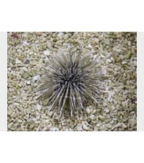 Parasalenia gratiosa - Whitespot Urchin