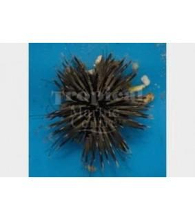 Echinometra mathaei - White-Tip Urchin