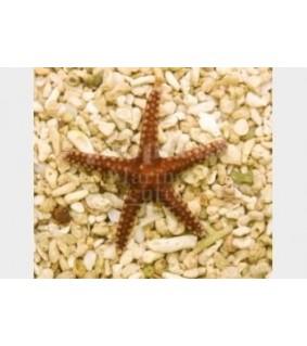 Fromia elegans - Biscuit Starfish - Melanesia