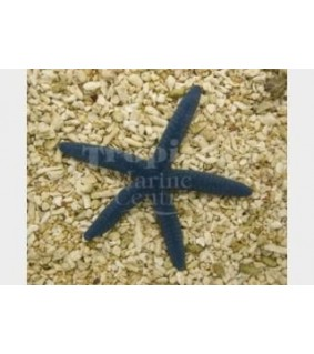 Linckia laevigata - Blue Finger Starfish - Melanesia