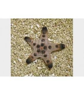 Protoreaster nodosus - Choc. Chip Starfish