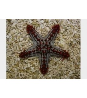 Protoreaster linckii - Crimson Knobbed Starfish