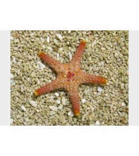 Paraferdina plakos - Deep Sea Starfish