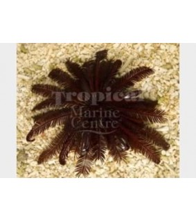 Himerometra robustipina - Feather Starfish - Red