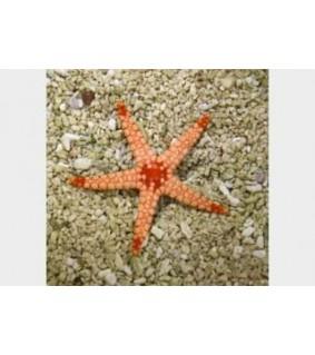Fromia monilis - Maldive Starfish
