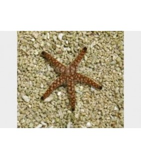 Fromia spp. - Marble Starfish