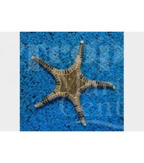 Iconaster longimanus - Mosaic Starfish