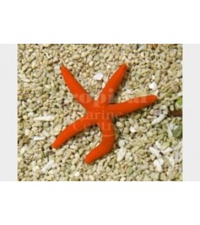 Echinaster sepositus - Orange Finger Starfish