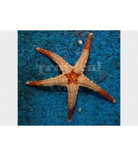 Fromia cf monilis - Pearl Starfish