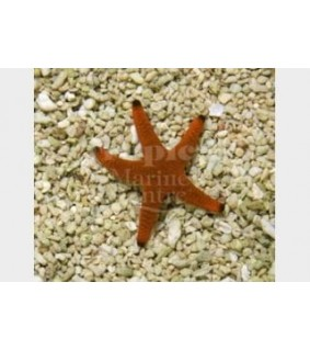 Fromia indica - Red Starfish