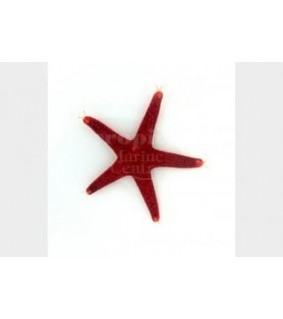 Fromia milleporella - Red Starfish - Spotted