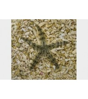 Archaster typicus - Sand Sifting Starfish - Melanesia
