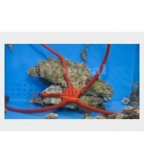 Ophioderma rubicundum - Scarlet Serpent Starfish
