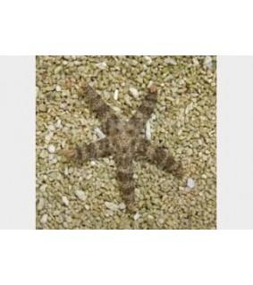 Nardoa tuberculata - Spikey Starfish - Banded