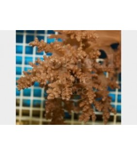 Nephthea spp. - Bush Coral - Brown
