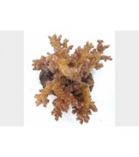 Neospongodes spp. - Bush Coral - Golden
