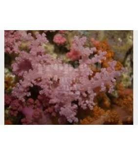 Scleronephthya spp - Bush Coral - Pink