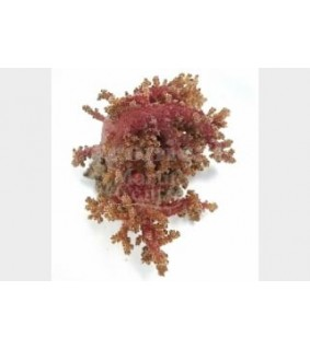 Neospongodes spp. - Bush Coral - Red