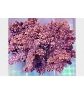 Litophyton sp. - Bush Coral - Vasaline