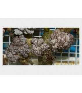 Cladiella spp. - Cauliflower Coral