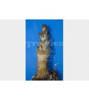 Studeriotes longiramosa - Christmas Tree Coral