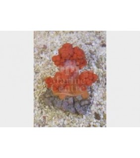 Scleronephthya spp. - Cult. Pussey Coral-Orange/Red