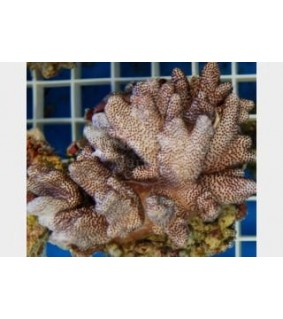 Cladiella spp. - Cult.Finger Coral-Cauliflower