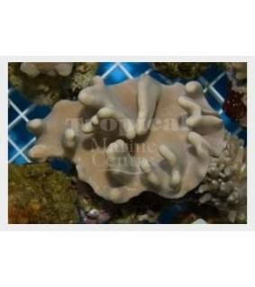 Sarcophyton spp. - Cult.Toadstool-Knobbly