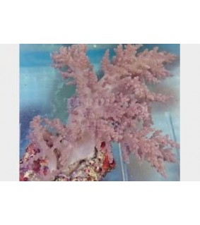 Nephthea spp. - Cultured Bush Coral - Brown