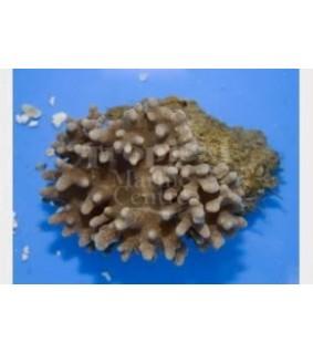 Sinularia brassica - Finger Coral - Cactus