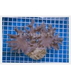 Sinularia spp. - Finger Coral - Devils