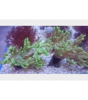 Sinularia sp. - Finger Coral - Green Coral Sea