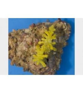 Siphonogorgia spp. - FireSoft Coral - Dwarf Red/Yell