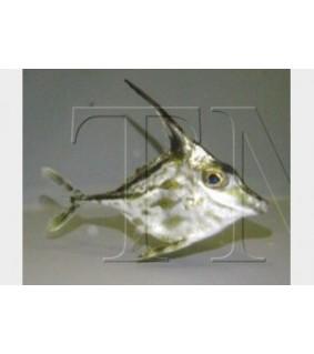 Tripodichthys sp. , Tripod Filefish