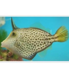Cantherhinus pardalis , Honeycomb Filefish