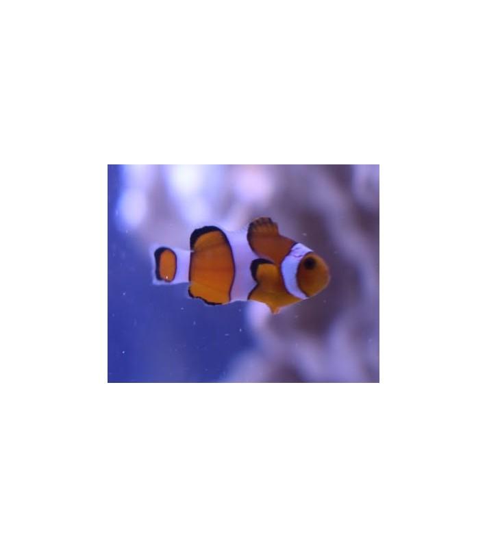 Amphiprion ocellaris - vuokkokala