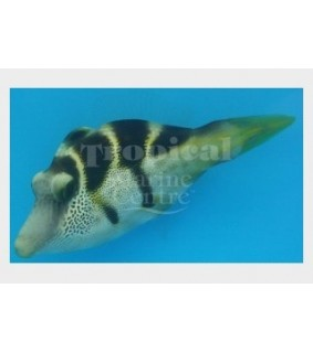 Paraluteres prionurus , Mimic Filefish
