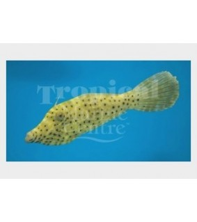 Aluterus scriptus , Scribbled Filefish