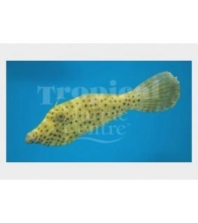 Aluterus scriptus - Scribbled Filefish
