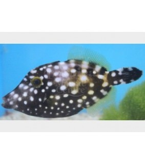 Cantherhines macroceros - Clown Filefish