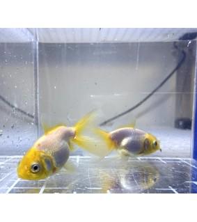 Kultakala white yellowcap