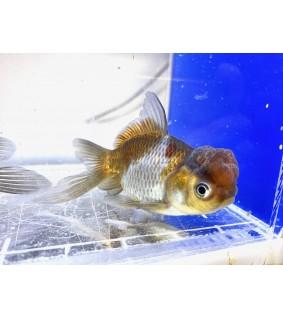 Kultakala tricolor
