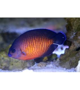 Centropyge bispinosa - purppuraherttuakala
