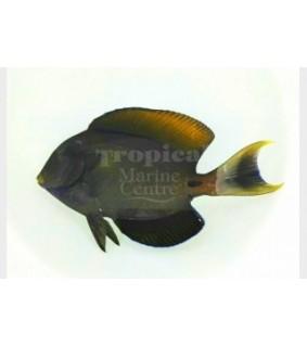 Acanthurus fowleri - Horseshoe Tang